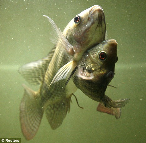 Conjoined fish.jpg