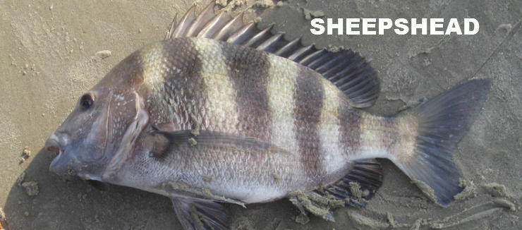 Here it is from florida page 2 ohio game fishing for Sheepshead fish eating