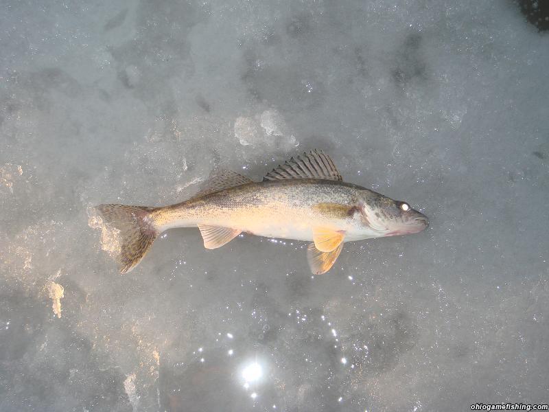 Sagueye buckeye lake ohio game fishing your ohio for Buckeye lake fishing