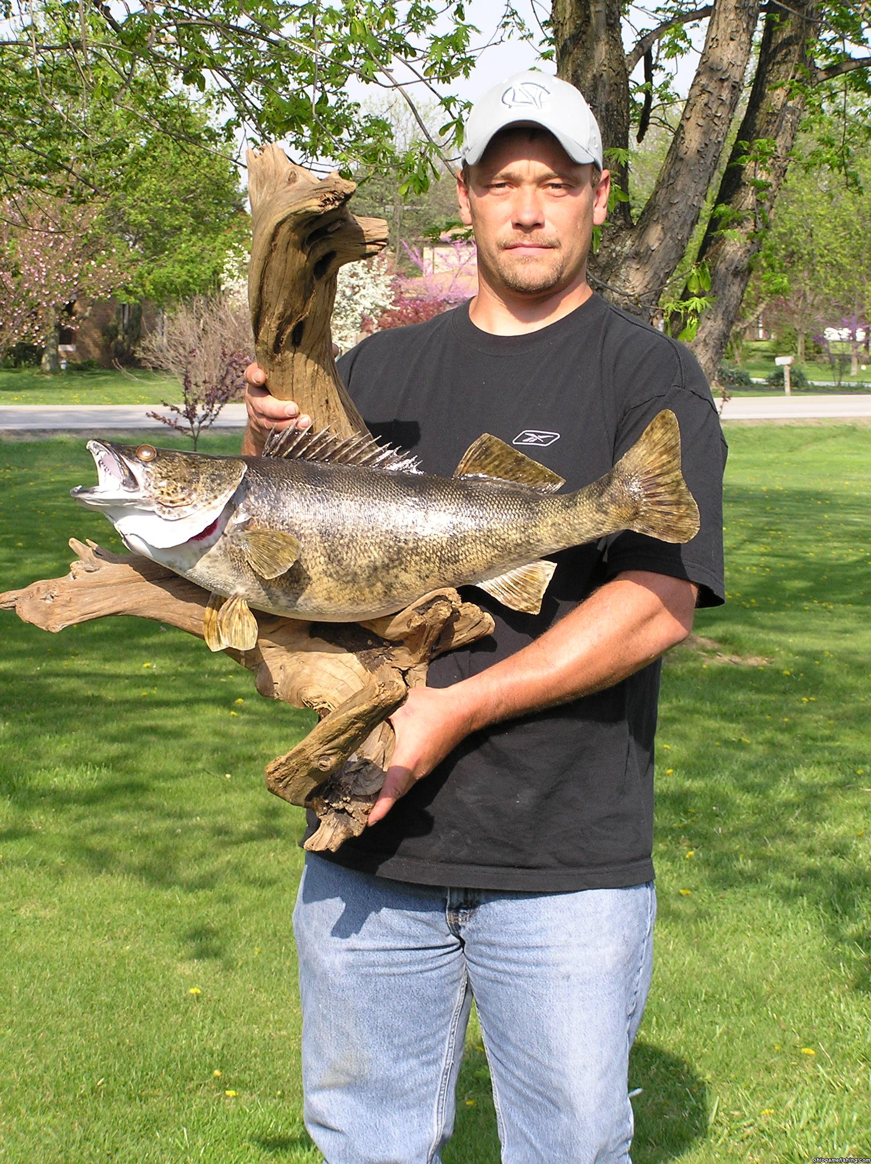 State record saugeye mount for Ohio state fish
